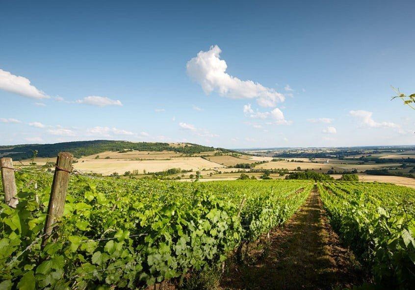 Vignes Simonnet-Febvre de l'IGP Coteaux de L'Auxois.