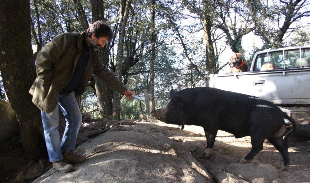 Vincent Paolantonacci avec un de ses porcs de race nustrale