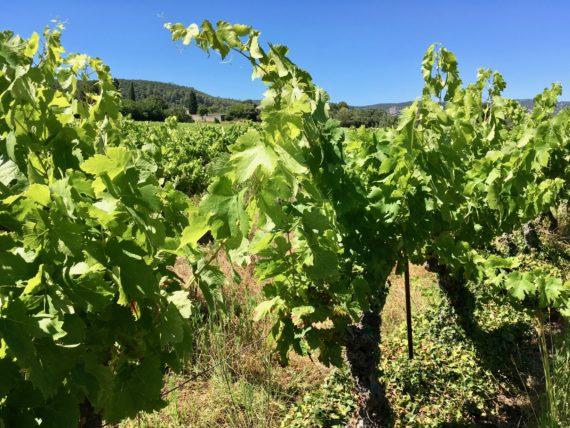 La vigne en été : un peu de vert dans la garrigue