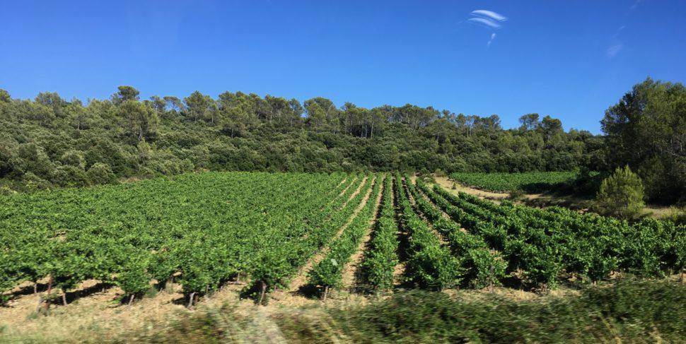 Saint Martin de Tréviers : Les vignes sont parfois au bord la route mais pas toujours.