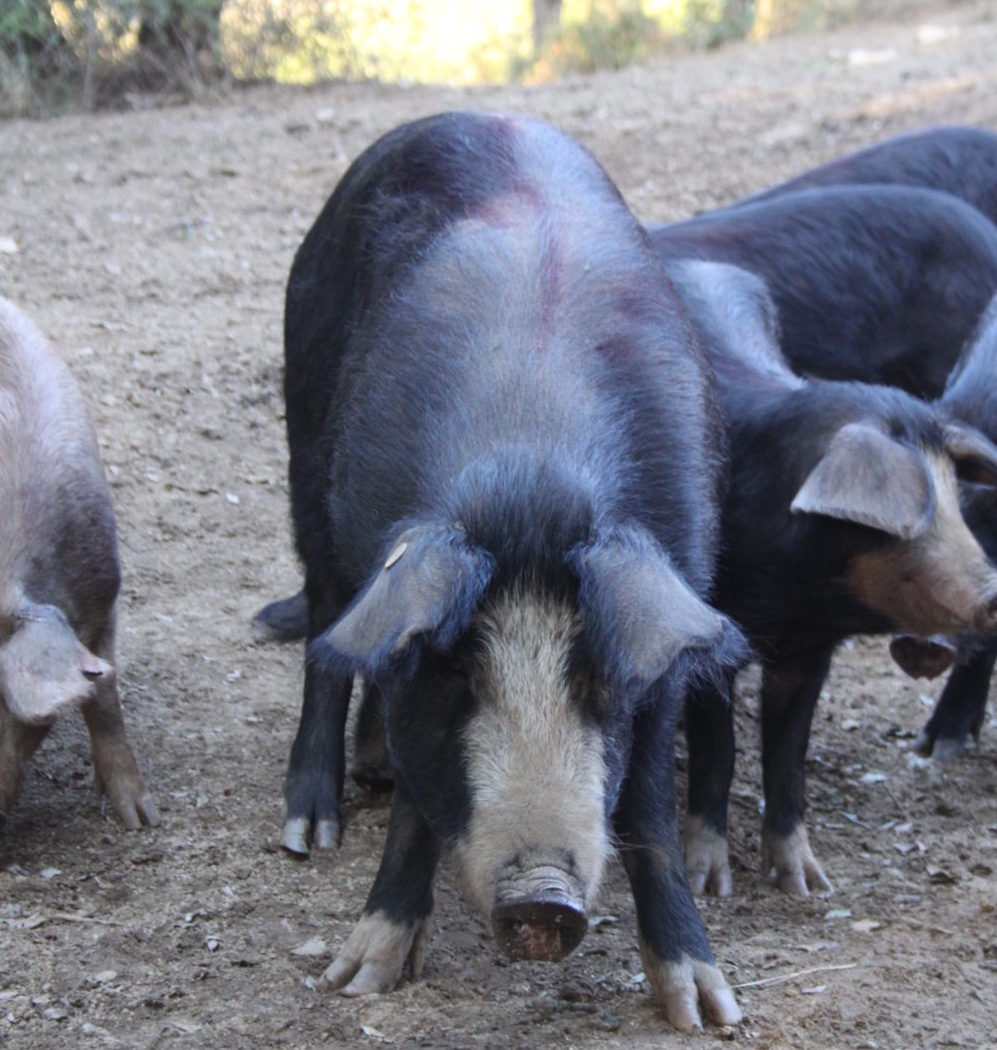 Porcs nustrale, en liberté