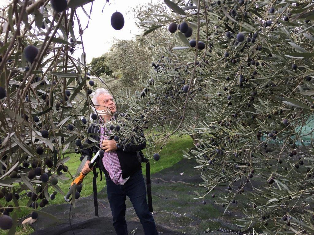 La cueillette des olives.