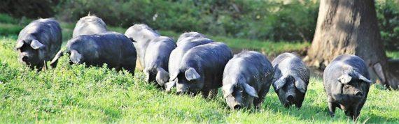 Porcs noirs de Bigorre