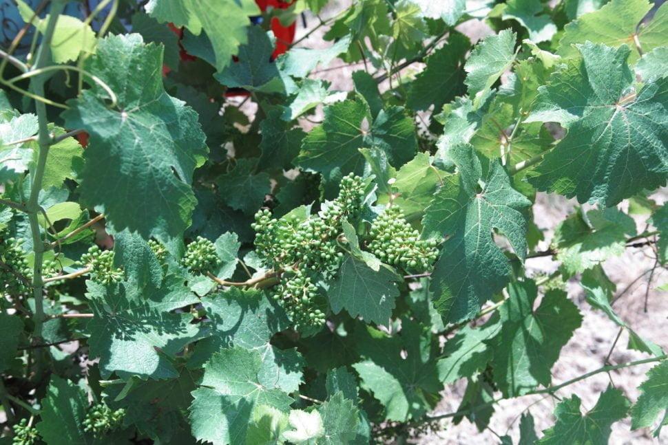 Baies de raisin chenin durant la nouaison (fin juin). Vigne du domaine de la Coulée de Serrant (Savennières – 49)