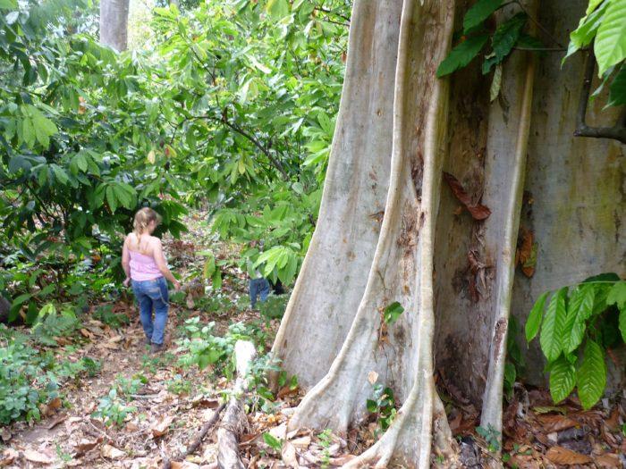 Sentier dans la région cacaotière