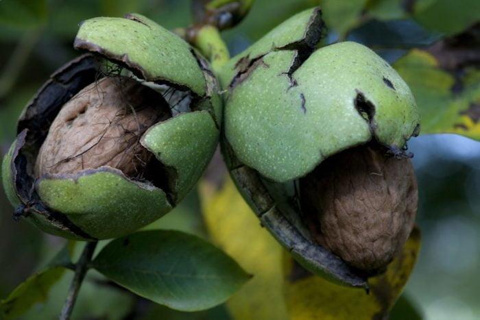 La noix de Grenoble se récolte dès fin septembre